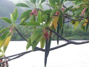 bruguiera-gimnorrhiza