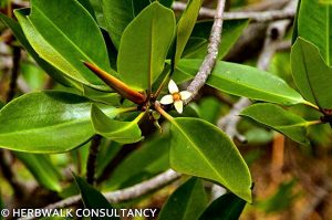 rhizophora-apiculata